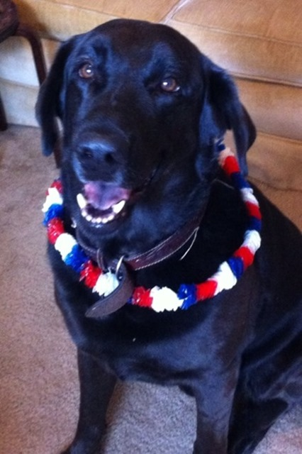 4th of July Labrador
