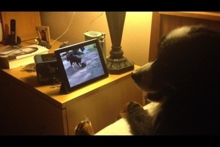 Dog Watching iPad
