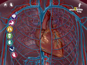 The circulatory system, minus the bones.
